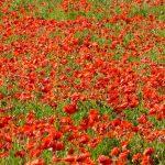 L'île de Ré rouge coquelicot