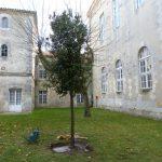 Un chêne vert pour le climat