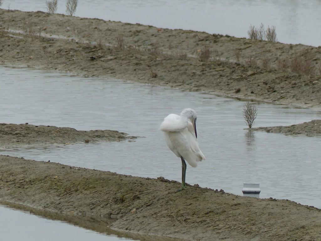 Aigrette dans le marais - 29 janvier 2016
