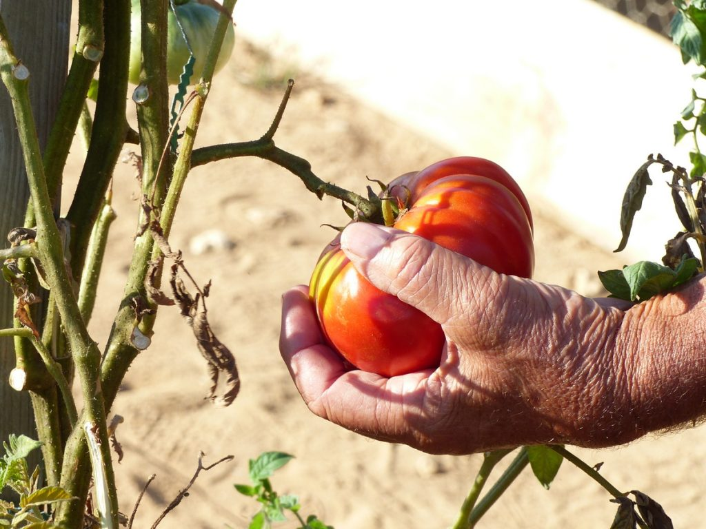 Saint-Clément des Baleines - Prix de la plus belle tomate - 3 septembre 2016
