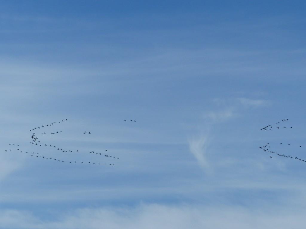 Ile de Ré - Bernaches en vol - 4 octobre