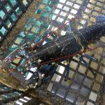 La mue du homard de l'île de Ré