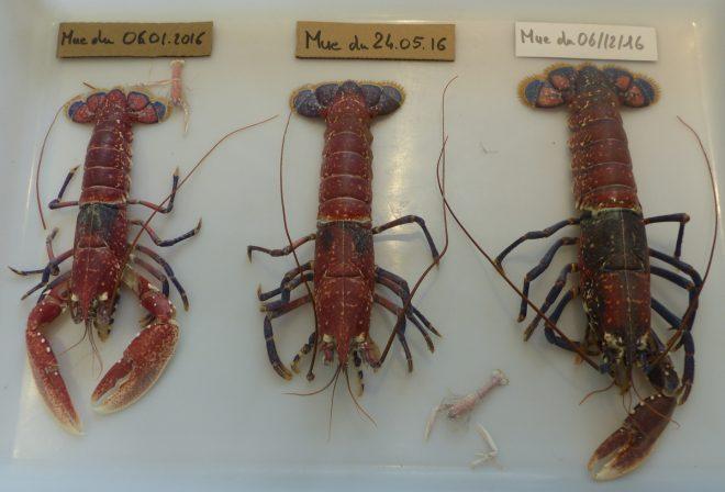 Ile de Ré - Mues du homard en 2016