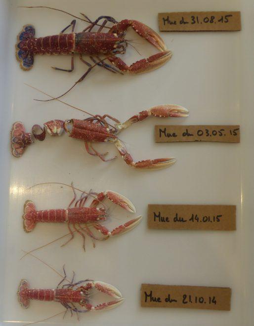 Ile de Ré - Mues du homard - Octobre 2014 à août 2015