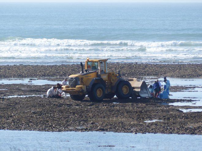 Ars-en-Ré - Echouage baleine - 27 octobre 2017