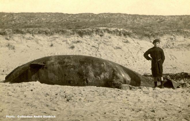 Photo baleine échouée - Collection André Diedrich - octobre 2017