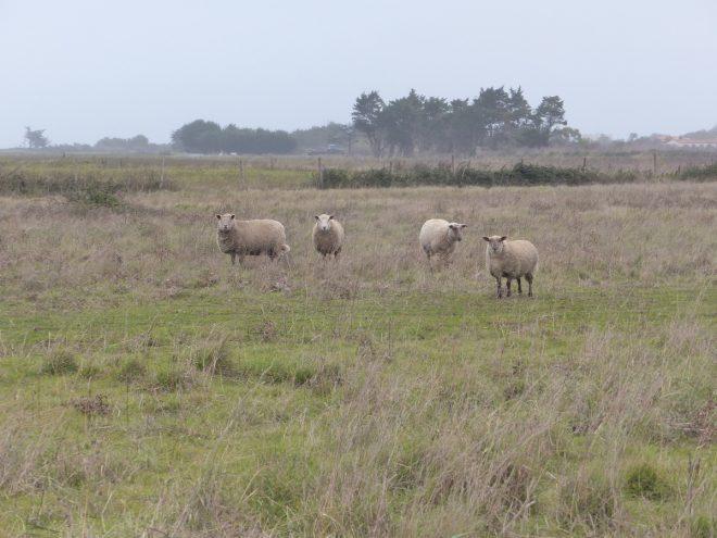 Loix - Paturage moutons - 10 novembre 2017