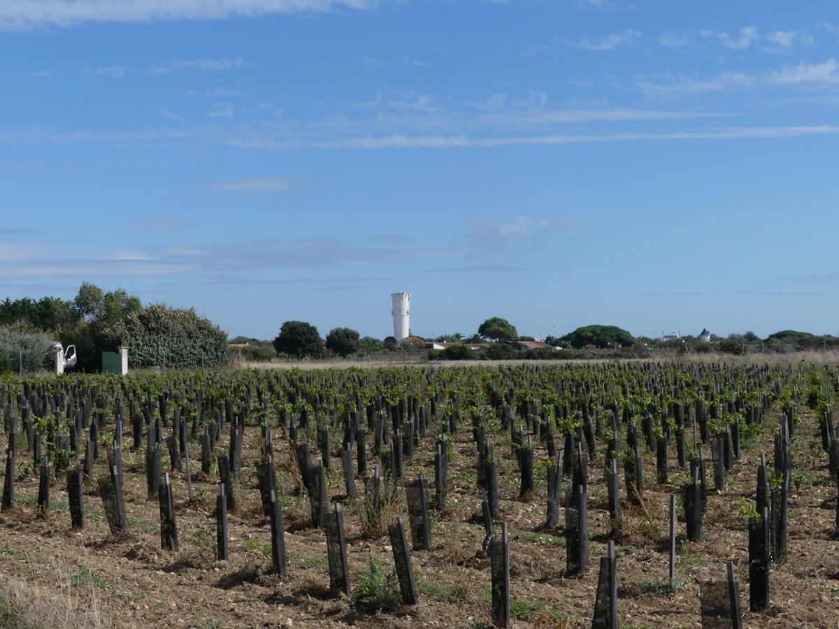 Loix - Vignes - 4 septembre 2019