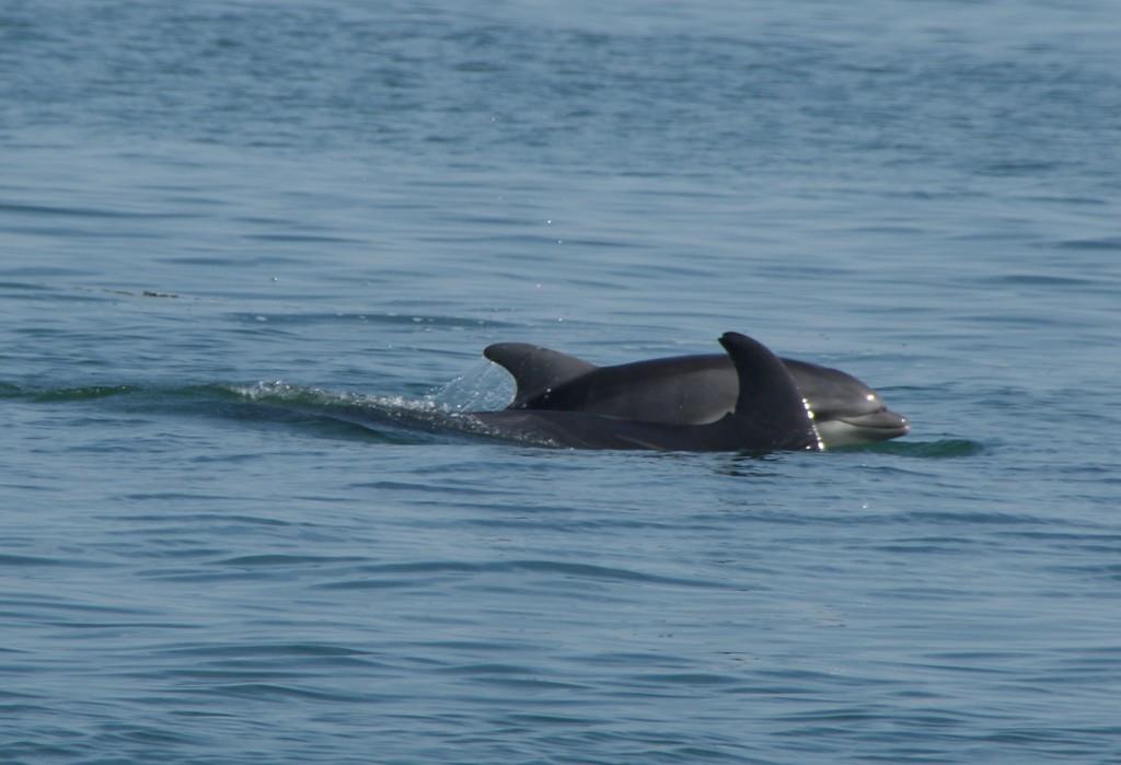 Grands dauphins au large de Loix - 6 septembre 2014