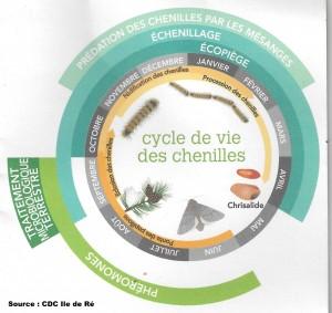 Cycle de vie de la chenille processionnaire du pin