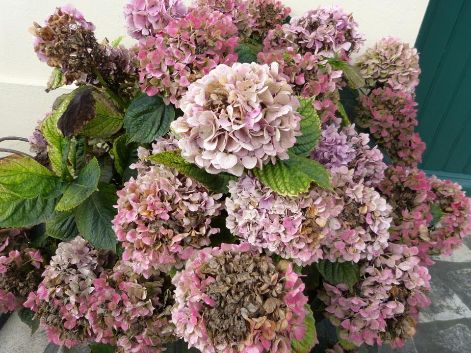 D but d automne l avis du p pini riste chroniques ordinaires des petits moments de la vie r taise - Faut il tailler les hortensias ...