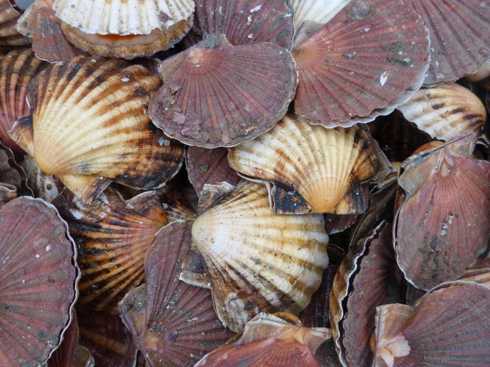 Coquilles Saint-Jacques de l'île de Ré