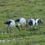 Festin d'ibis sacrés