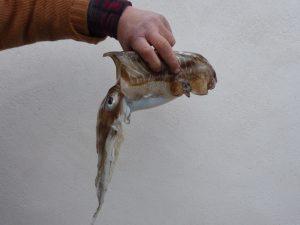 Pêche de seiche