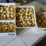 Calibres de pommes de terre rétaises