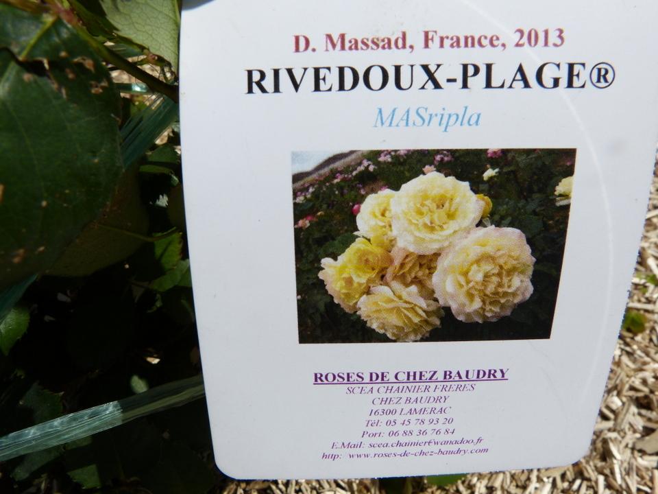 La rose Rivedoux-Plage