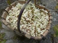 Fleurs d'acacia