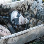 Pêche à la seiche dans le Pertuis breton