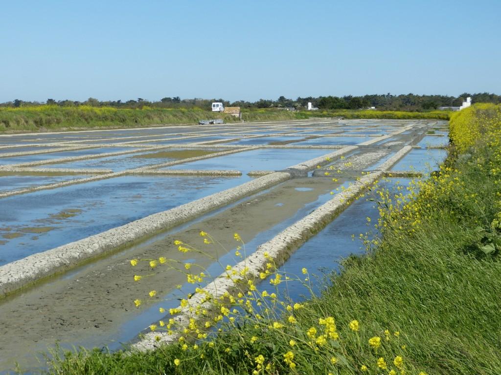 Ile de Ré - Préparatifs marais salant