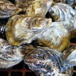 Cybelle des marais®, l'huître du marais