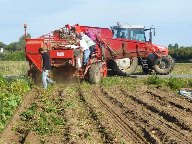 3 juillet, dernier jour d'arrachage des pommes de terre