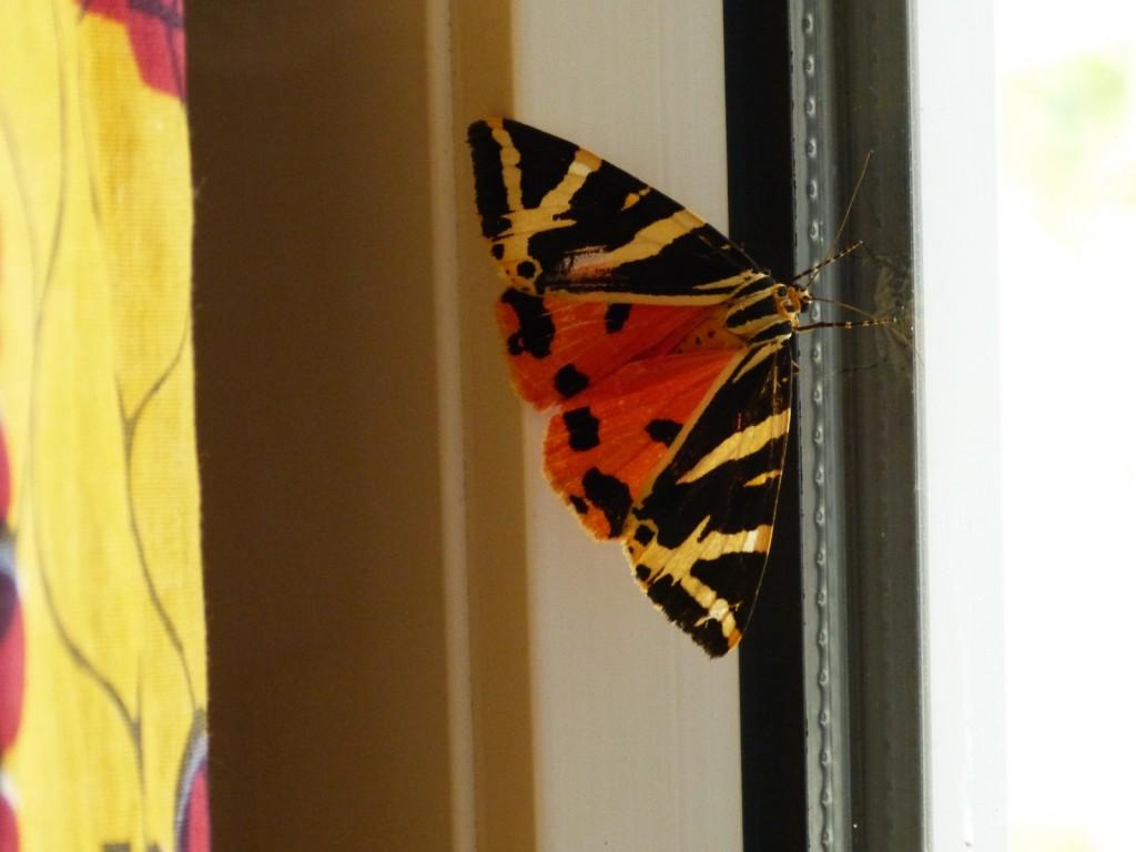 Arctia caja, papillon de nuit