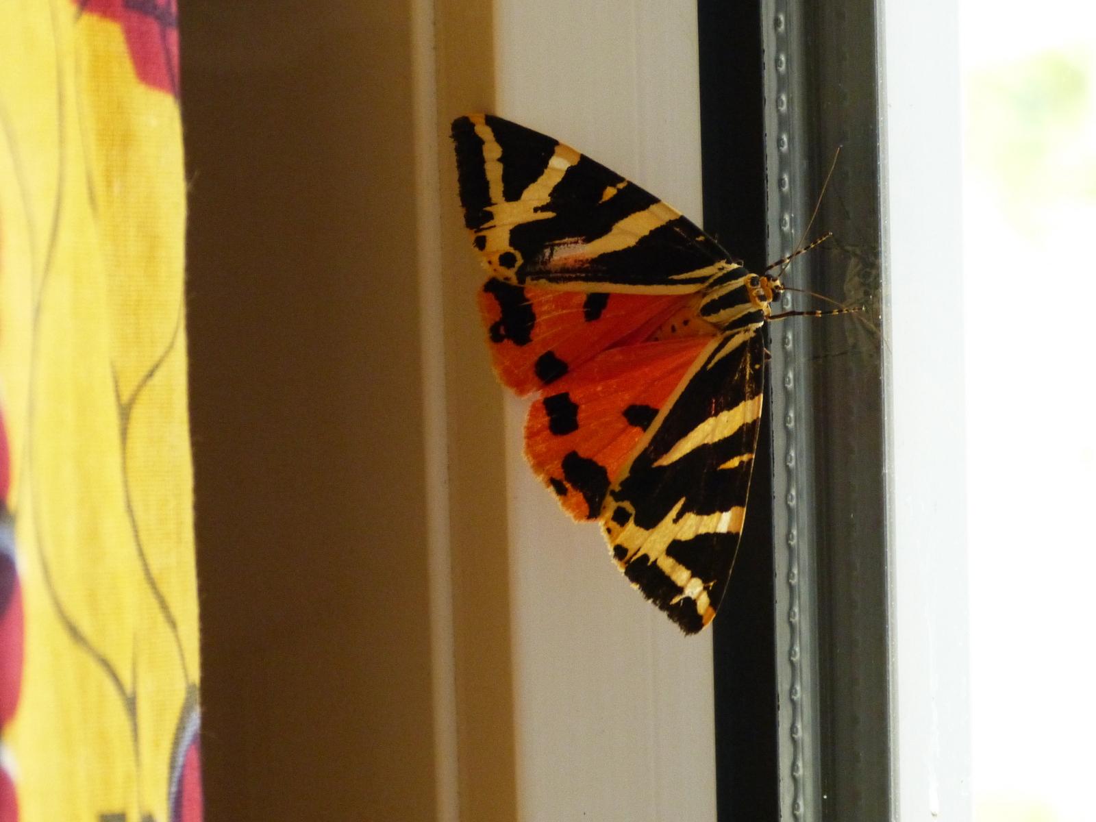Arctia caja papillon de nuit chroniques ordinaires des petits moments de la vie r taise - Duree de vie papillon de nuit ...