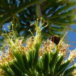 L'agave, régal de l'abeille et du papillon