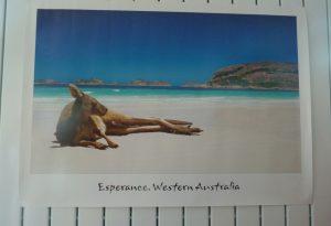 Espérance, kangourou sur la plage