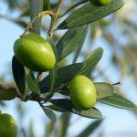 Olives, noyaux et moulin à vent