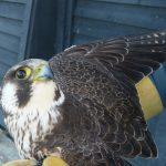 Des nouvelles du faucon pèlerin