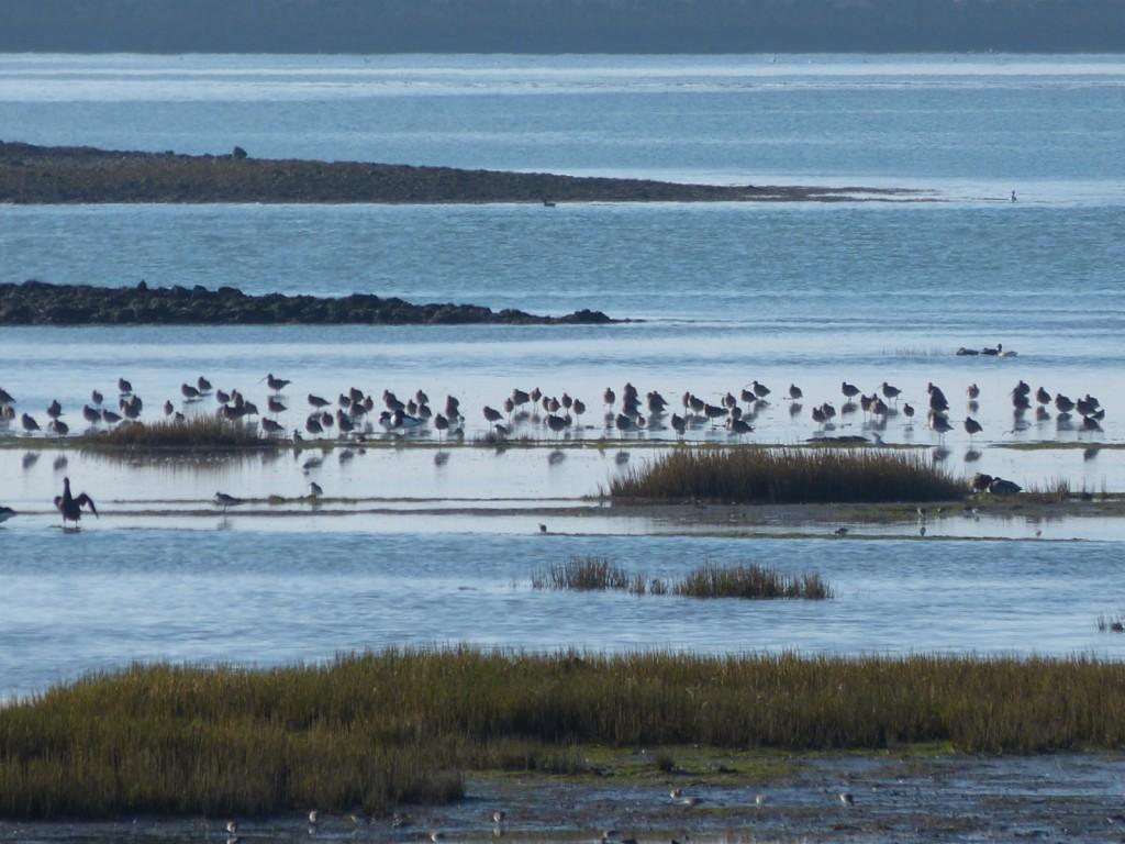 Ile de Ré - Oiseaux - janvier 2015