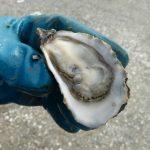 Petites boudeuses, huîtres dodues